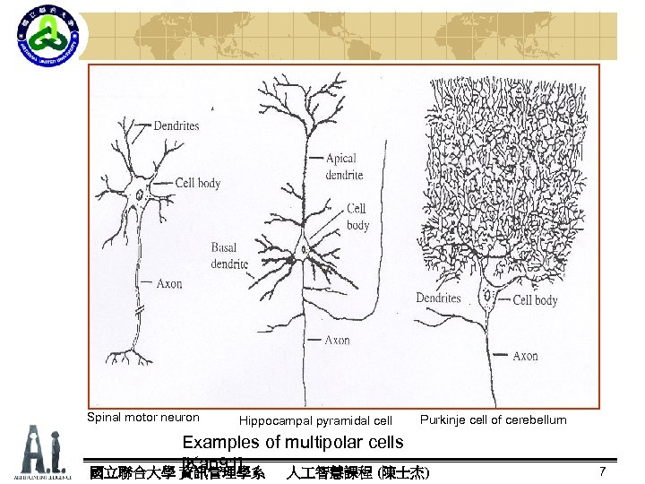 Spinal motor neuron Hippocampal pyramidal cell Purkinje cell of cerebellum Examples of multipolar cells