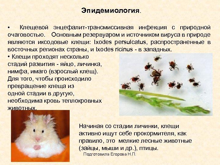 Эпидемиология. • Клещевой энцефалит-трансмиссивная инфекция с природной очаговостью. Основным резервуаром и источником вируса