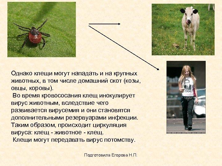 Однако клещи могут нападать и на крупных животных, в том числе домашний скот (козы,