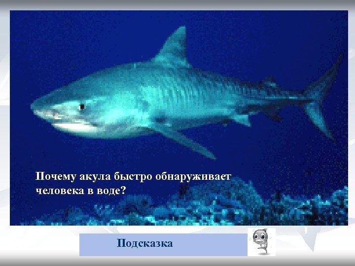 Почему акула быстро обнаруживает упавшего в воду Почему акула быстро обнаруживает человека? в воде?