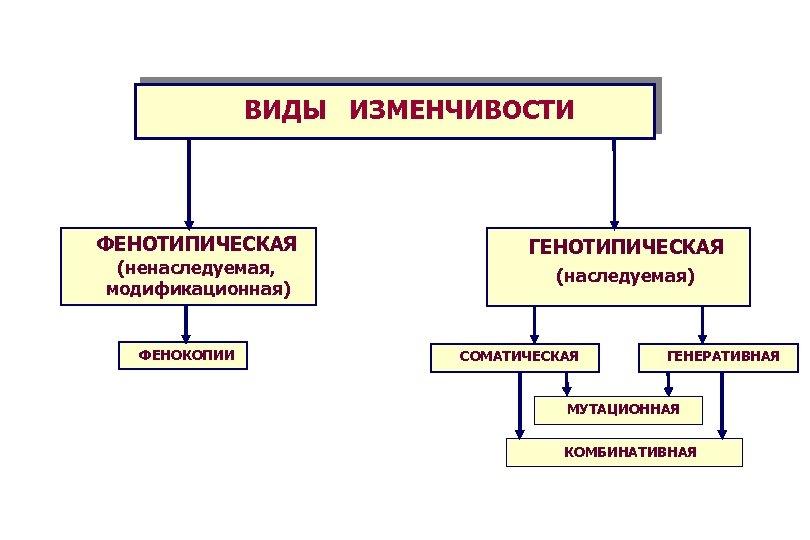 ВИДЫ ИЗМЕНЧИВОСТИ ФЕНОТИПИЧЕСКАЯ (ненаследуемая, модификационная) ФЕНОКОПИИ ГЕНОТИПИЧЕСКАЯ (наследуемая) СОМАТИЧЕСКАЯ ГЕНЕРАТИВНАЯ МУТАЦИОННАЯ КОМБИНАТИВНАЯ