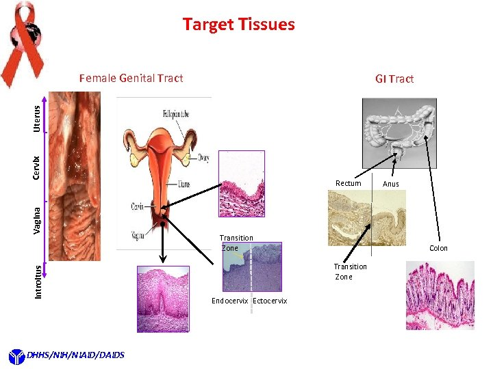 Target Tissues Female Genital Tract Introitus Vagina Cervix Uterus GI Tract DHHS/NIH/NIAID/DAIDS Rectum Transition