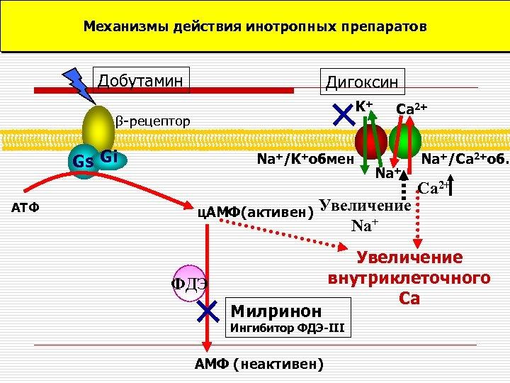 Механизмы действия инотропных препаратов Добутамин Дигоксин K+ β-рецептор Gs Gi АТФ Na+/K+обмен ц. АМФ(активен)
