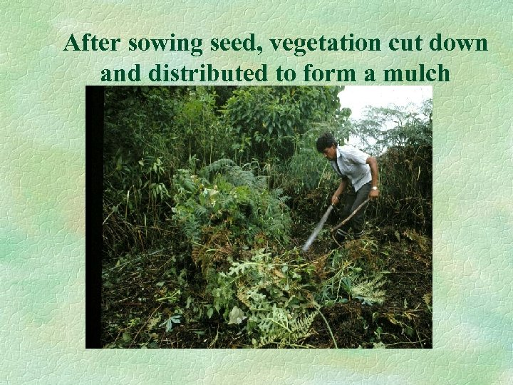 After sowing seed, vegetation cut down and distributed to form a mulch