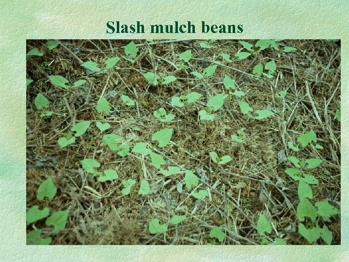 Slash mulch beans