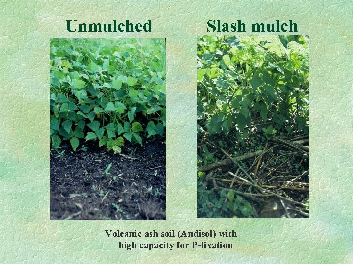 Unmulched Slash mulch Volcanic ash soil (Andisol) with high capacity for P-fixation