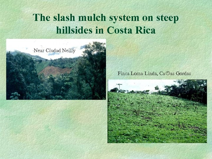 The slash mulch system on steep hillsides in Costa Rica Near Ciudad Neilly Finca