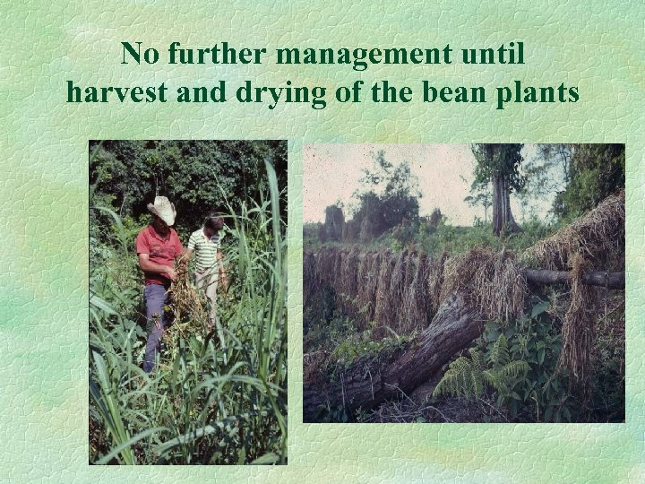 No further management until harvest and drying of the bean plants