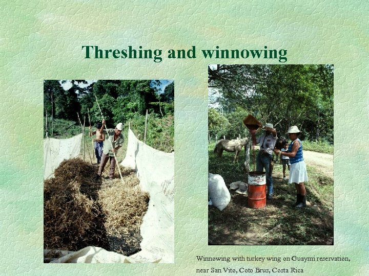 Threshing and winnowing Winnowing with turkey wing on Guaymi reservation, near San Vito, Coto
