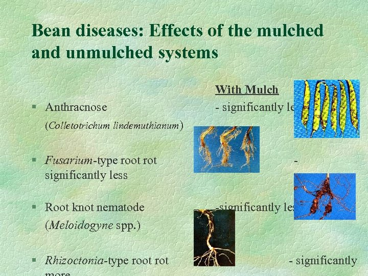 Bean diseases: Effects of the mulched and unmulched systems § Anthracnose With Mulch -