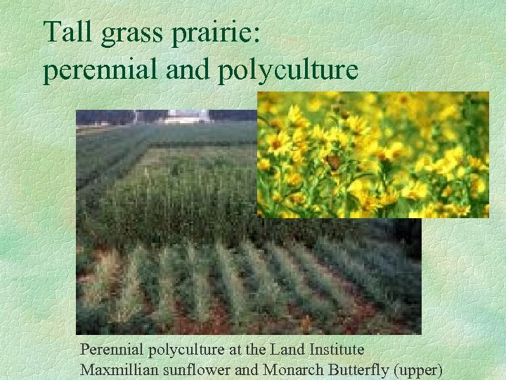 Tall grass prairie: perennial and polyculture Perennial polyculture at the Land Institute Maxmillian sunflower