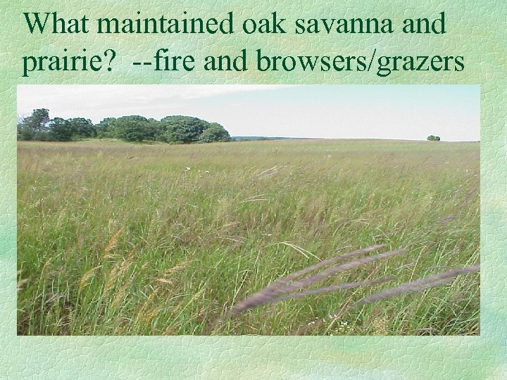 What maintained oak savanna and prairie? --fire and browsers/grazers