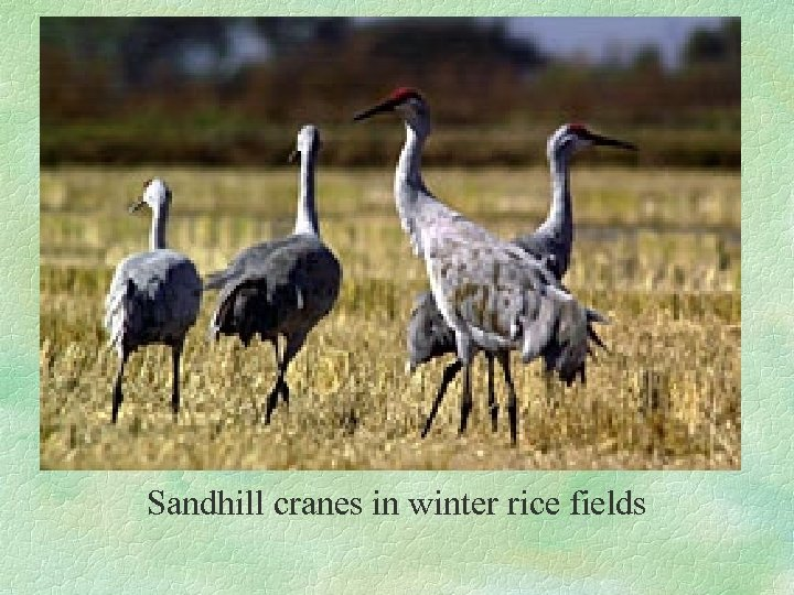 Sandhill cranes in winter rice fields