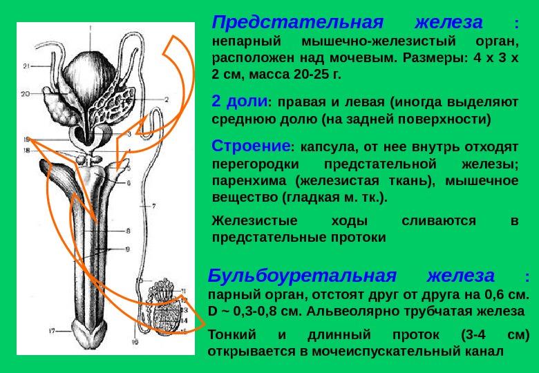 Предстательная железа размеры лечение