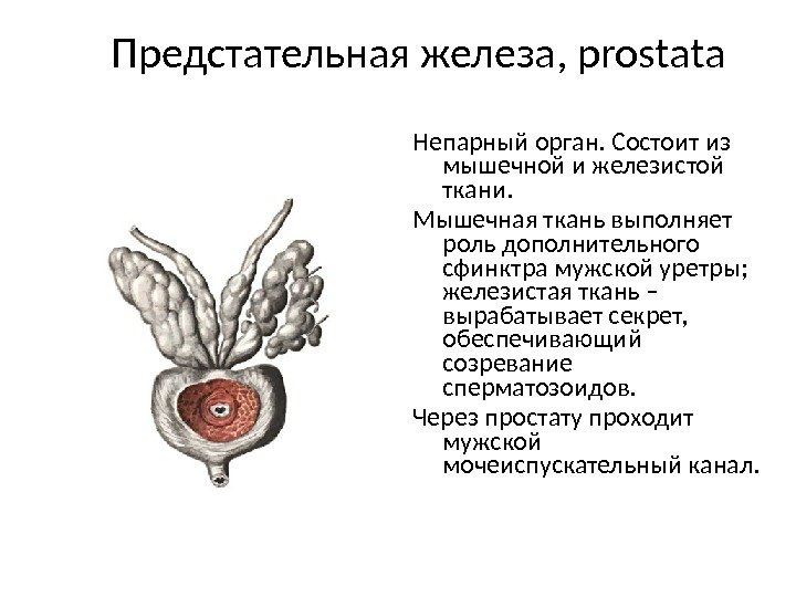 i-sostoyashaya-iz-spermatozoidov-sekreta-predstatelnoy