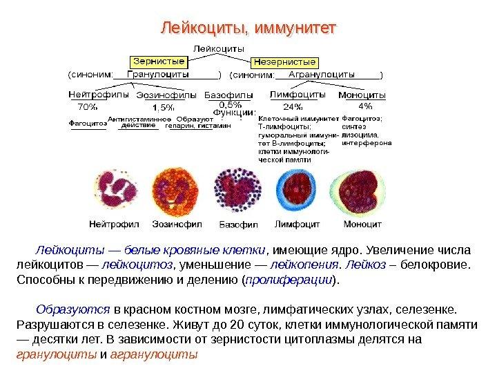 Где находится лимфоциты