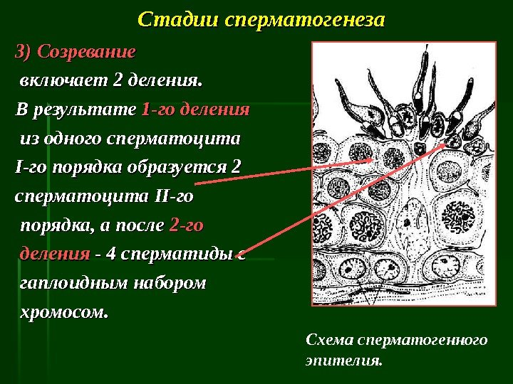 etapi-sozrevaniya-spermatozoidov