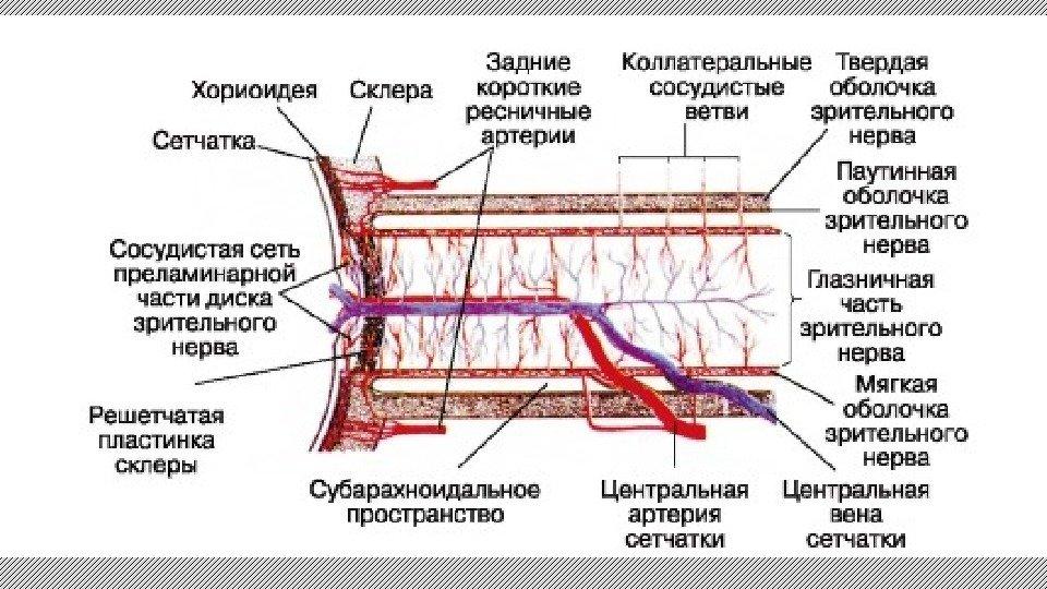 Глаз кровоснабжение схема
