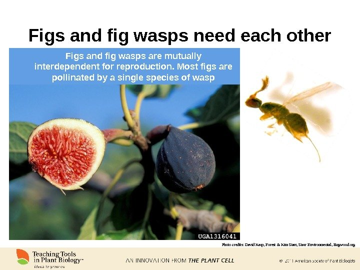 Figs and fig wasps need each other Photo credits:  David Karp, Forest & Kim Starr,