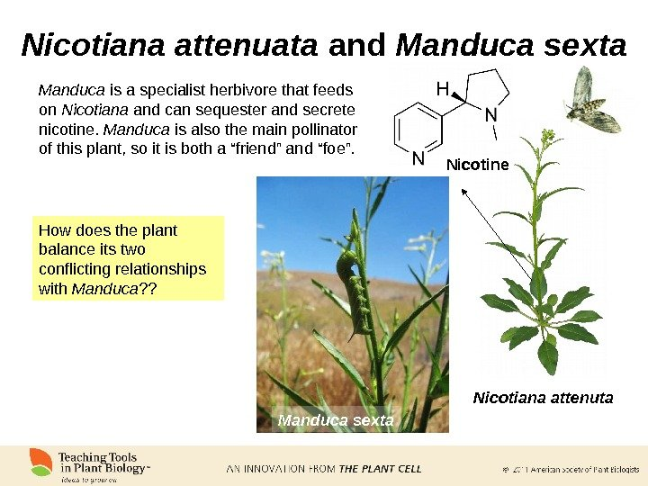 Nicotiana attenuata and Manduca sexta Nicotine Nicotiana attenuta Manduca sexta. Manduca is a specialist herbivore that