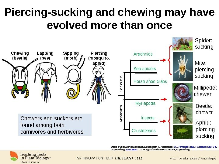 Chewing (beetle) Lapping (bee) Sipping (moth) Piercing (mosquito,  aphid)Piercing-sucking and chewing may have evolved more