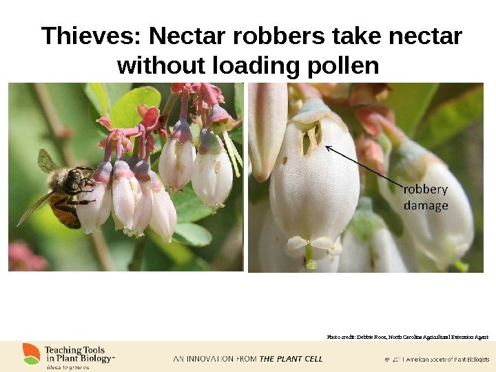 Thieves: Nectar robbers take nectar without loading pollen Photo credit: Debbie Roos, North Carolina Agricultural Extension