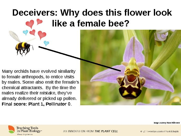 Deceivers: Why does this flower look like a female bee?  Many orchids have evolved similarity