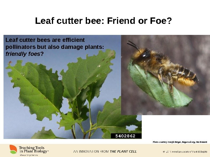 Leaf cutter bee: Friend or Foe?  Leaf cutter bees are efficient pollinators but also damage