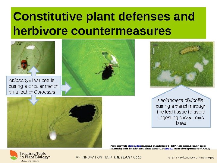 Constitutive plant defenses and herbivore countermeasures Photo scopyright Chris Darling ; Dussourd, D. , and Eisner,