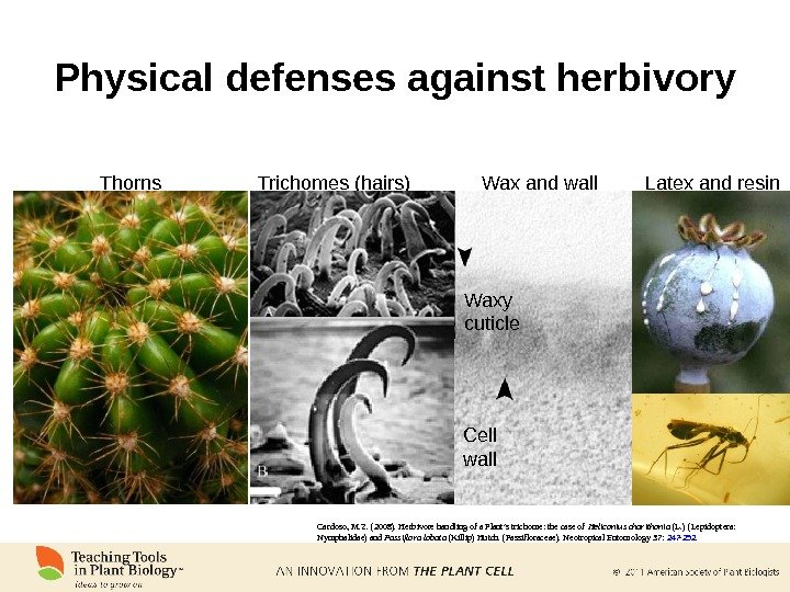 Physical defenses against herbivory Thorns Trichomes (hairs) Wax and wall Latex and resin Waxy cuticle Cell