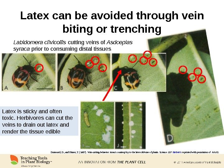 Latex can be avoided through vein biting or trenching Dussourd, D. , and Eisner, T. (1987).