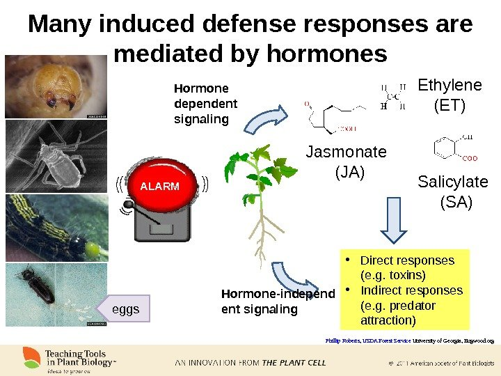 Phillip Roberts ,  USDA Forest Service University of Georgia, Bugwood. org. Jasmonate (JA) Salicylate (SA)Ethylene
