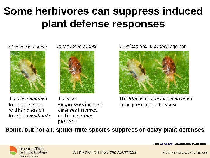 Some herbivores can suppress induced plant defense responses T. urticae  induces  tomato defenses and