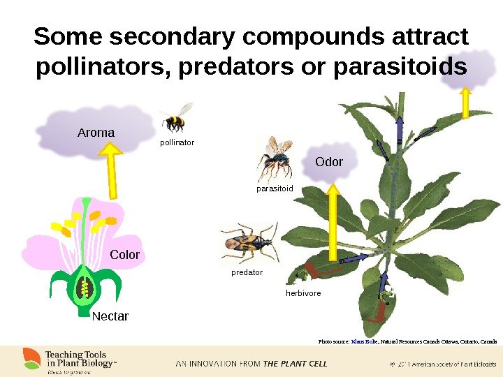 Some secondary compounds attract pollinators, predators or parasitoids Aroma Color Nectar Odorpollinator predator parasitoid herbivore Photo