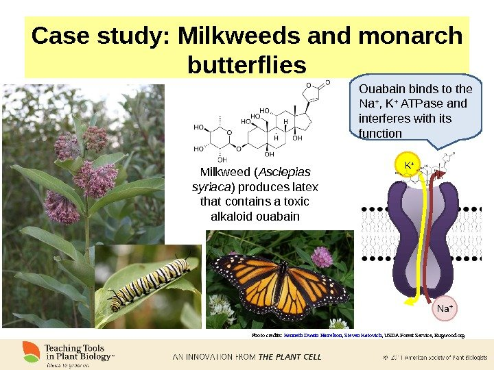 Case study: Milkweeds and monarch butterflies Photo credits:  Kenneth Dwain Harrelson ,  Steven Katovich