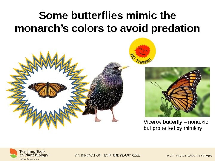 Some butterflies mimic the monarch's colors to avoid predation Viceroy butterfly – nontoxic but protected by
