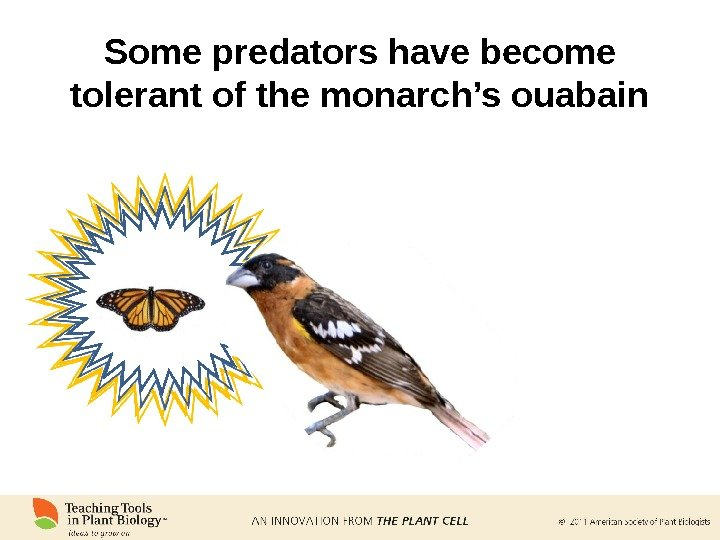 Some predators have become tolerant of the monarch's ouabain