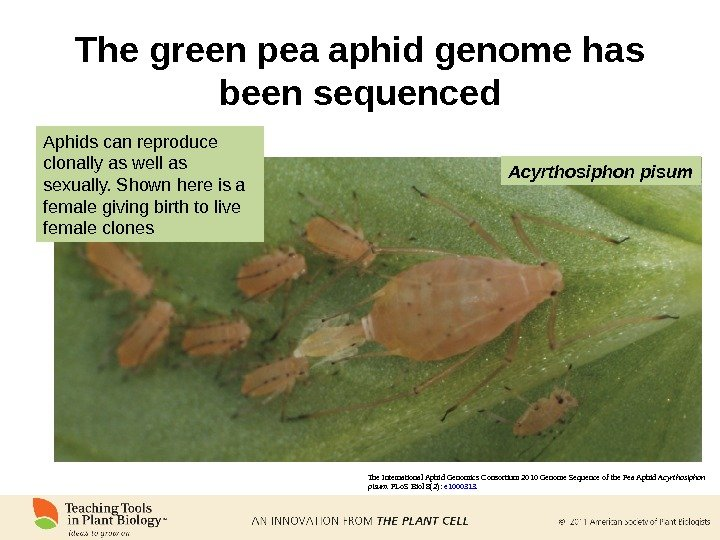 The green pea aphid genome has been sequenced The International Aphid Genomics Consortium 2010 Genome Sequence