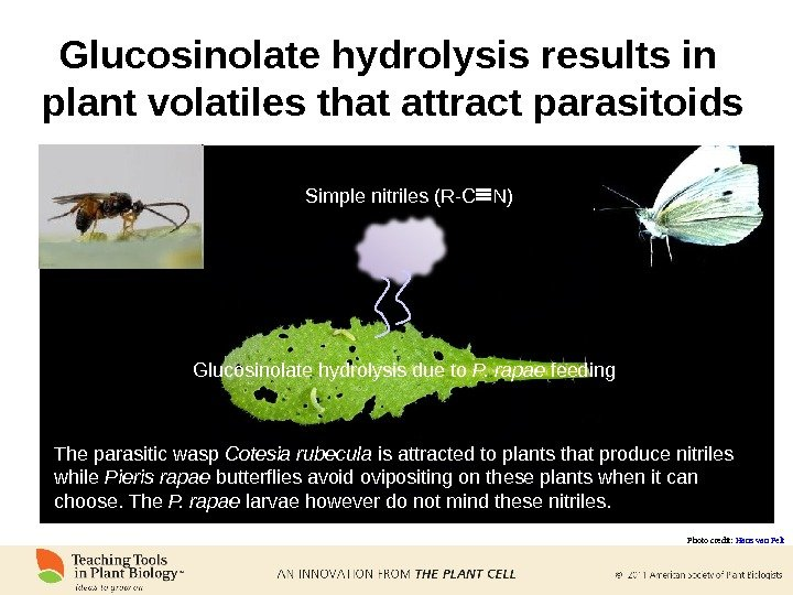 Glucosinolate hydrolysis results in  plant volatiles that attract parasitoids Glucosinolate hydrolysis due to P. rapae
