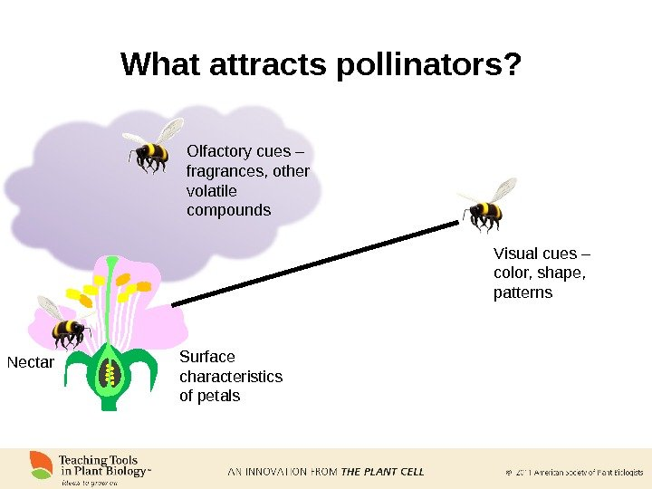 What attracts pollinators?  Visual cues – color, shape,  patterns. Olfactory cues – fragrances, other