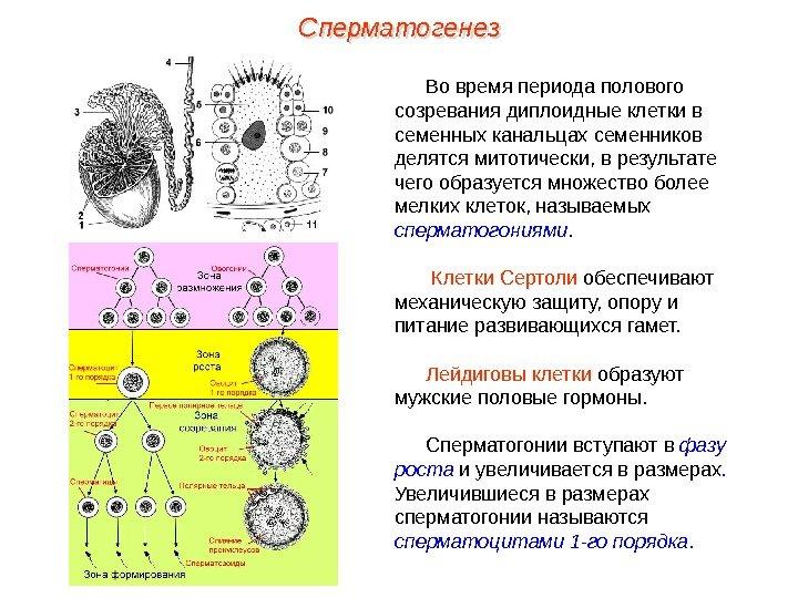 vremya-sozrevaniya-spermatozoida