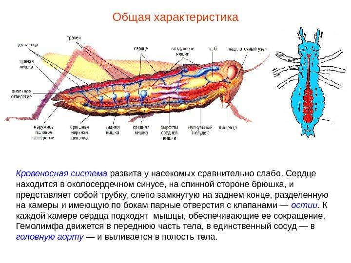 Почему насекомые имеют плохо развитую кровеносную систему