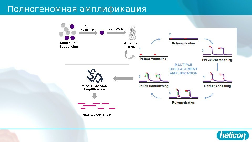 Полногеномная амплификация Cell Lyse Genomic DNA Whole Genome Amplification NGS Library Prep Cell Capture Single-Cell Suspension