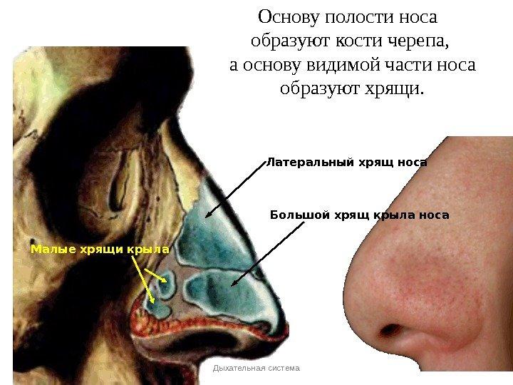 строение носа человека фото обрела известность