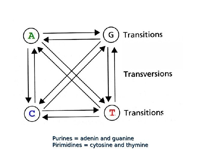 Purines = adenin and guanine Pirimidines = cytosine and thymine