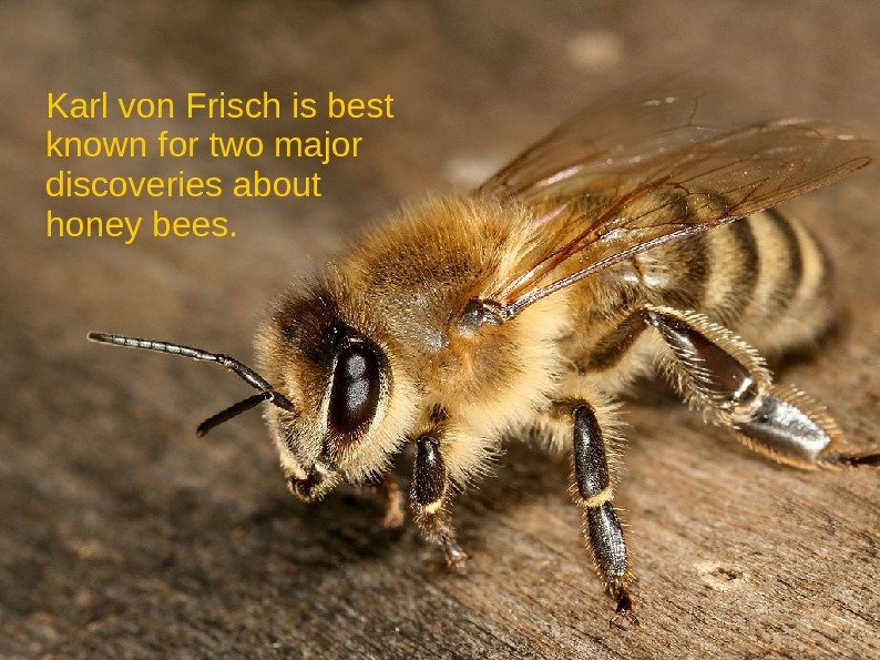 Karl von Frisch is best known for two major discoveries about honey bees.