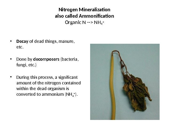 Nitrogen Mineralization also called Ammonification Organic N -- NH 4 + • Decay of
