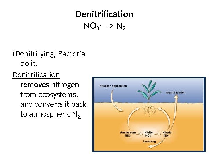 Denitrification NO 3 - -- N 2 (Denitrifying) Bacteria do it. Denitrification  removes