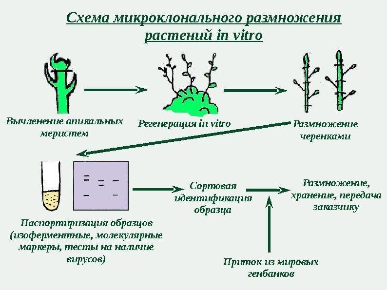 Схема размножений растений