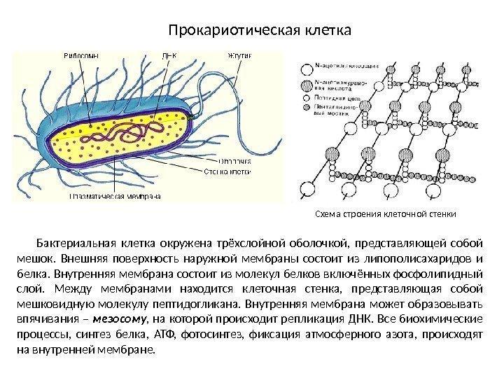 Комбинированная схема строения прокариотической клетки